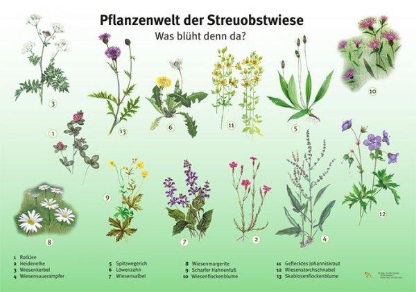 Pflanzenwelt der Streuobstwiese