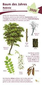 Robinie - Baum des Jahres 2020