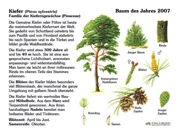 Kiefer - Baum des Jahres 2007