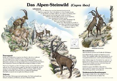 Das Alpen-Steinwild