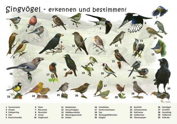 Singvögel - erkennen und bestimmen