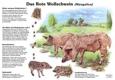 Das rote Wollschwein