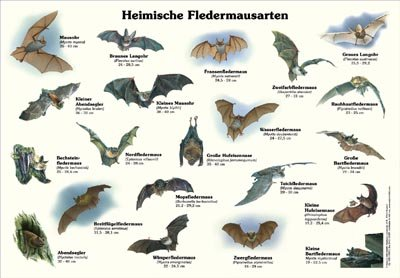 Heimische Fledermausarten