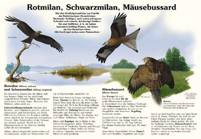 Rotmilan, Schwarzmilan, Mäusebussard