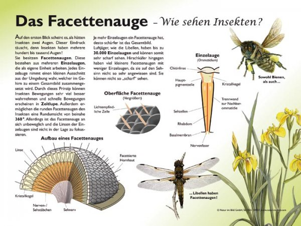 Das Facettenauge - Wie sehen Insekten?