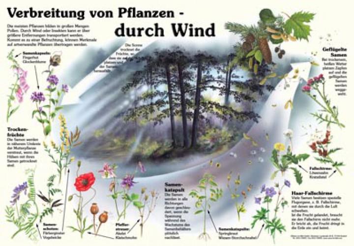 verbreitung von pflanzen durch wind 50x70 70x100 cm pflanzen lehrtafeln natur im bild. Black Bedroom Furniture Sets. Home Design Ideas