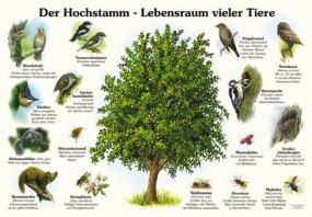 Der Hochstamm - Lebensraum vieler Tiere