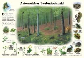 Artenreicher Laubmischwald