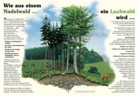 Wie aus einem Nadelwald ein Laubwald wird