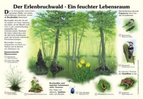 Der Erlenbruchwald