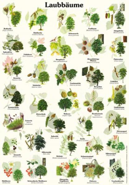 laubb ume 50x70 70x100 cm pflanzen lehrtafeln natur im bild lehrtafeln f r natur. Black Bedroom Furniture Sets. Home Design Ideas