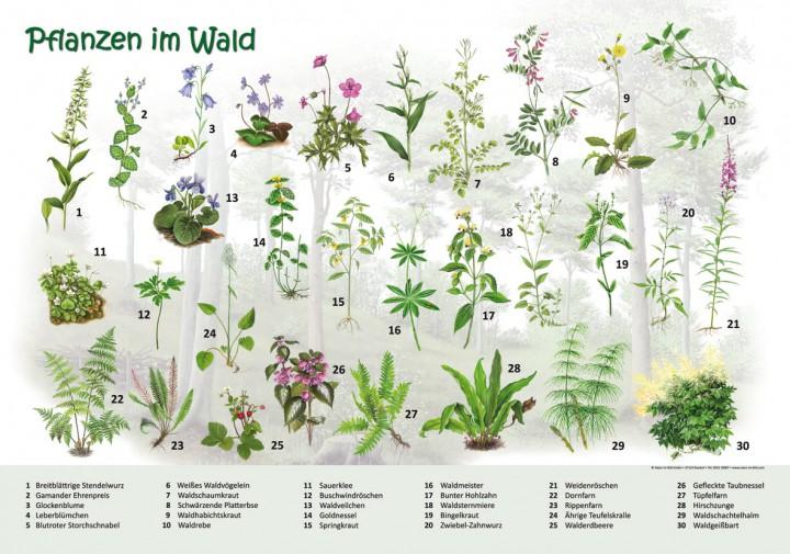 Heimische Pflanzen pflanzen im wald 50x70 70x100 cm neuheiten lehrtafeln