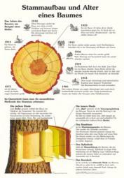 Stammaufbau und Alter eines Baumes