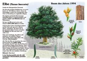 Die Eibe - Baum des Jahres 1994