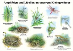 Amphibien und Libellen an unserem Kleingewässer