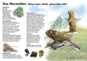 Das Murmeltier