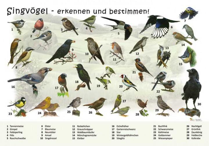 Singvogel bestimmen