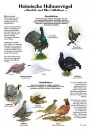 Heimische Hühnervögel