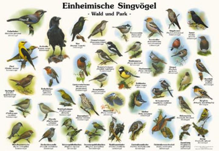 Lieblings Einheimische Singvögel - Wald und Park | 50x70 & 70x100 cm | Vögel #RC_12
