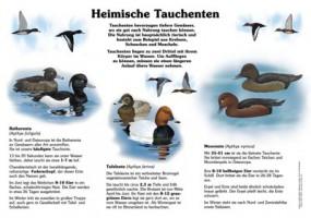 Heimische Tauchenten II - Tafel-, Moor- und Reiherente
