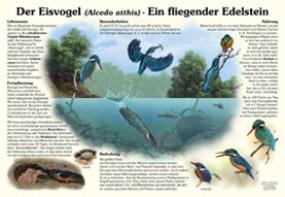 Der Eisvogel - Ein fliegender Edelstein