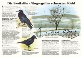 Die Saatkrähe - Singvogel im schwarzen Kleid