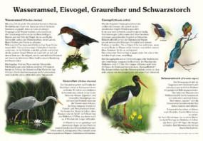 Wasseramsel, Eisvogel, Graureiher und Schwarzstorch