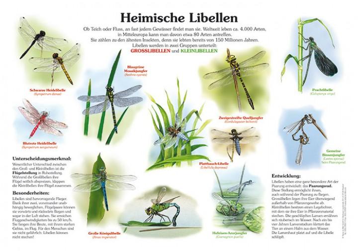 Heimische Libellen | 50x70 & 70x100 cm | Insekten, Ameisen und ...