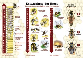 entwicklung der biene 50x70 70x100 cm insekten ameisen und spinnen lehrtafeln natur. Black Bedroom Furniture Sets. Home Design Ideas