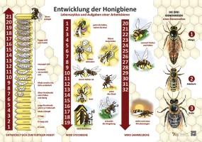 Entwicklung der Honigbiene