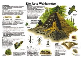 Die Rote Waldameise
