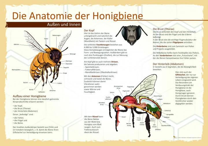 Die Anatomie der Honigbiene | 50x70 & 70x100 cm | Insekten, Ameisen ...