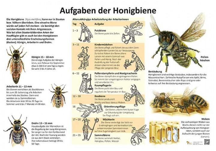 die aufgaben der honigbiene 50x70 70x100 cm insekten ameisen und spinnen lehrtafeln. Black Bedroom Furniture Sets. Home Design Ideas