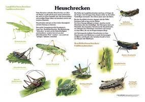 Heuschrecken