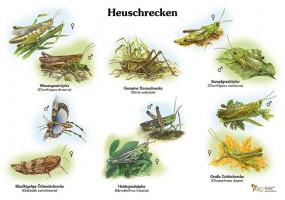 Heimische Heuschrecken
