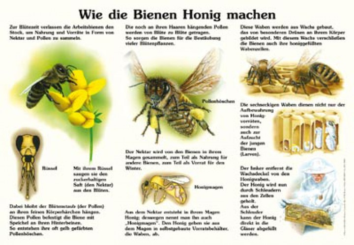 wie die bienen honig machen 50x70 70x100 cm insekten ameisen und spinnen lehrtafeln. Black Bedroom Furniture Sets. Home Design Ideas