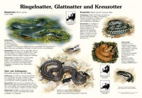 Ringelnatter, Glattnatter und Kreuzotter