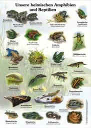Unsere heimischen Amphibien und Reptilien
