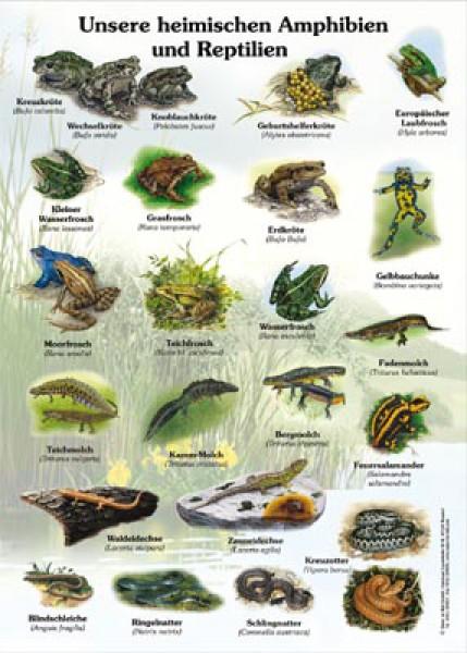 Unsere Heimischen Amphibien Und Reptilien 50x70 Amp 70x100