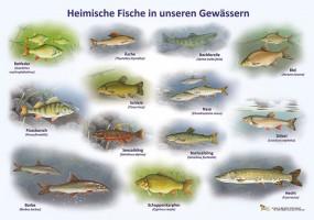 heimische fische in unseren gew ssern 50x70 70x100 cm