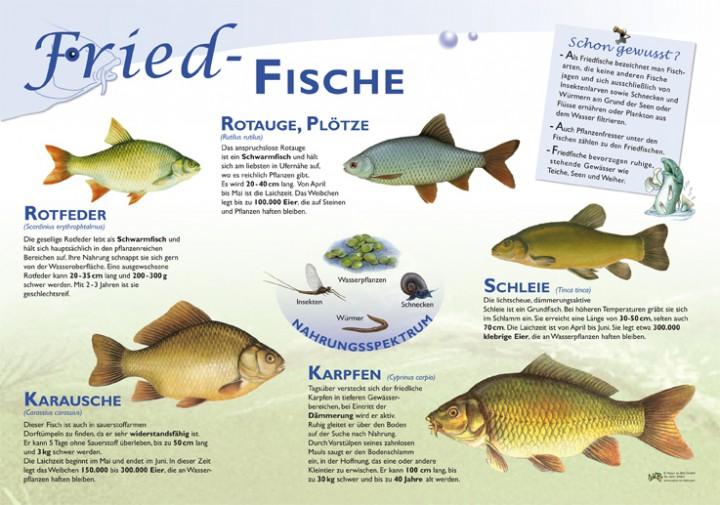 Friedfische 50x70 Amp 70x100 Cm Fische Lehrtafeln