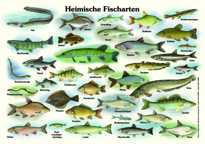 heimische fischarten 50x70 70x100 cm fische