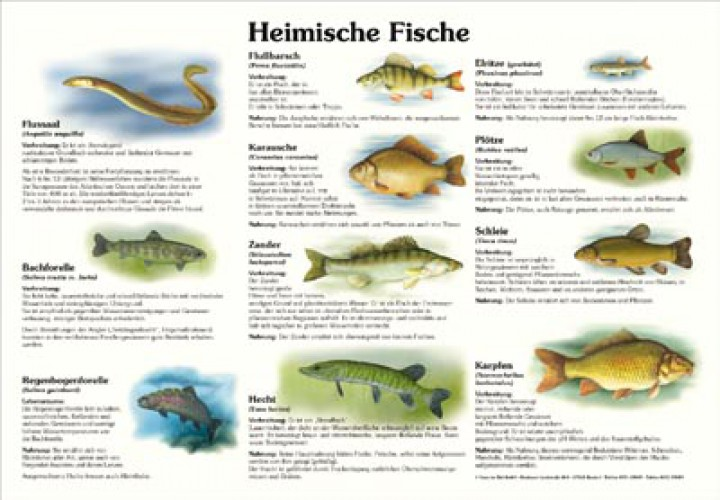 Heimische fische 50x70 70x100 cm fische lehrtafeln for Einheimische fische gartenteich