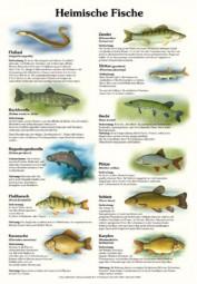 Heimische Fische (hochformatig)