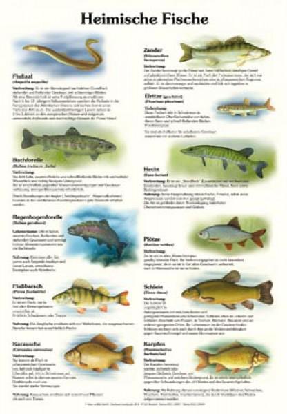 Heimische fische hochformatig 50x70 70x100 cm for Heimische fische