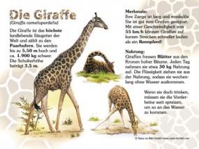 Größtes Landtier: Die Giraffe