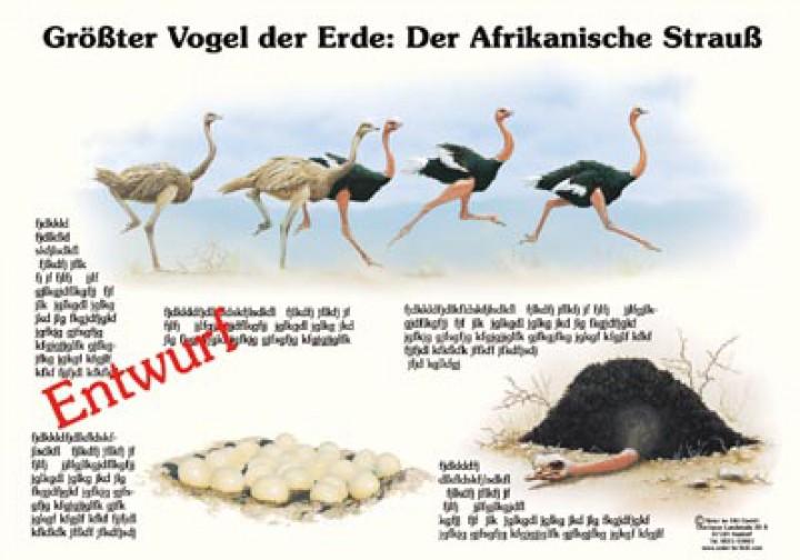 Größter Vogel Der Erde Der Afrikanische Strauß 50x70 70x100 Cm