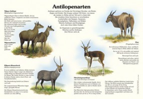Antilopenarten