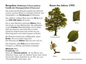 Bergulme - Baum des Jahres 1992