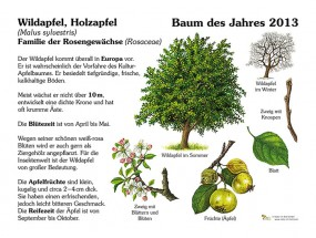 Wildapfel, Holzapfel - Baum des Jahres 2013